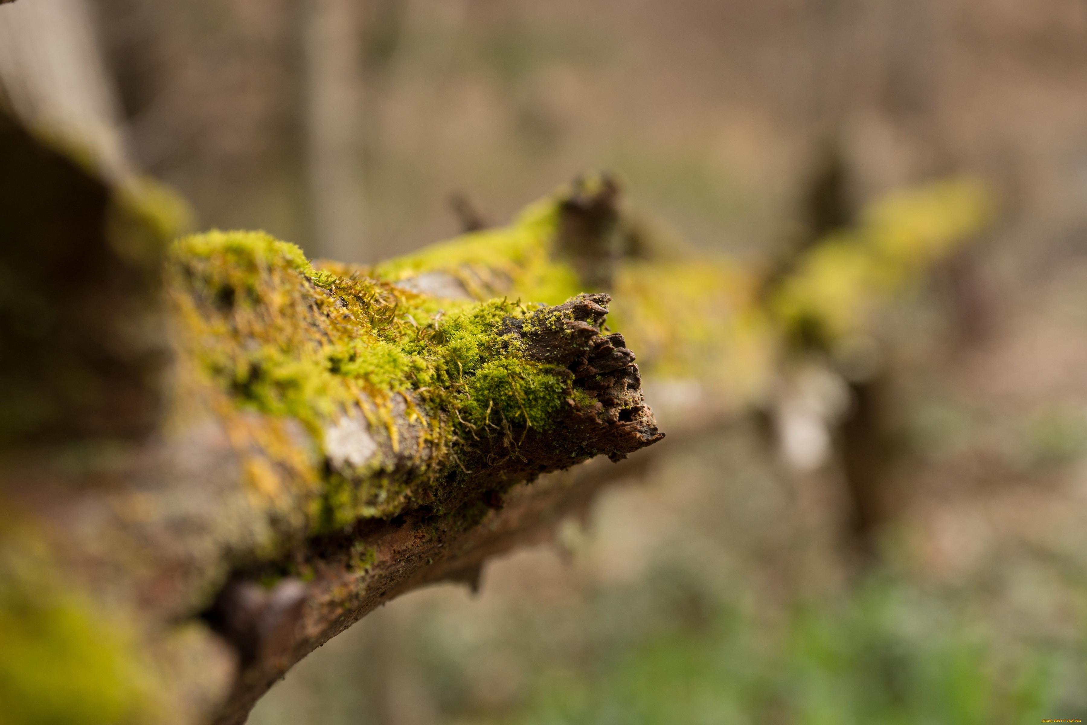 природа, макро, бревно, мох